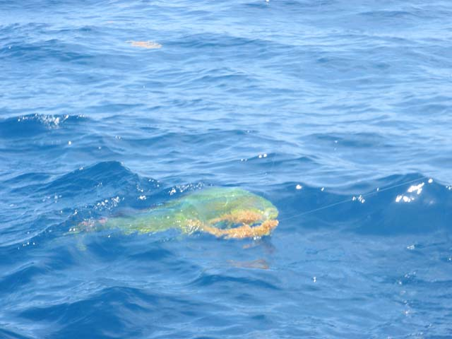 A mahi in the water while deep sea fishing aboard the Goin Off out of Port Canaveral near Cocoa Beach